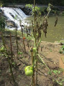 2012-10 - VA - IMG_1248 mill garden tomato falls (Large)