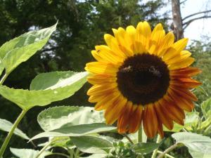 2014-07 DSC01050 farmhouse pasture sunflower (Large)