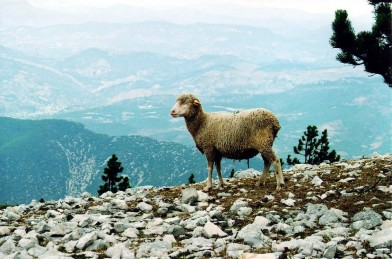 2007-08c Sheep atop Mount Ventoux - Su 2007