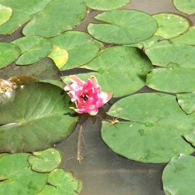 2015-06 IMG_20150609 IMG_0682 frog pond lily pad (Large)