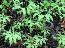2016-04 IMG_4369 green ferns mpr (Large)