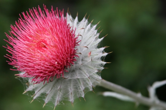 for the blossom of this thistle?